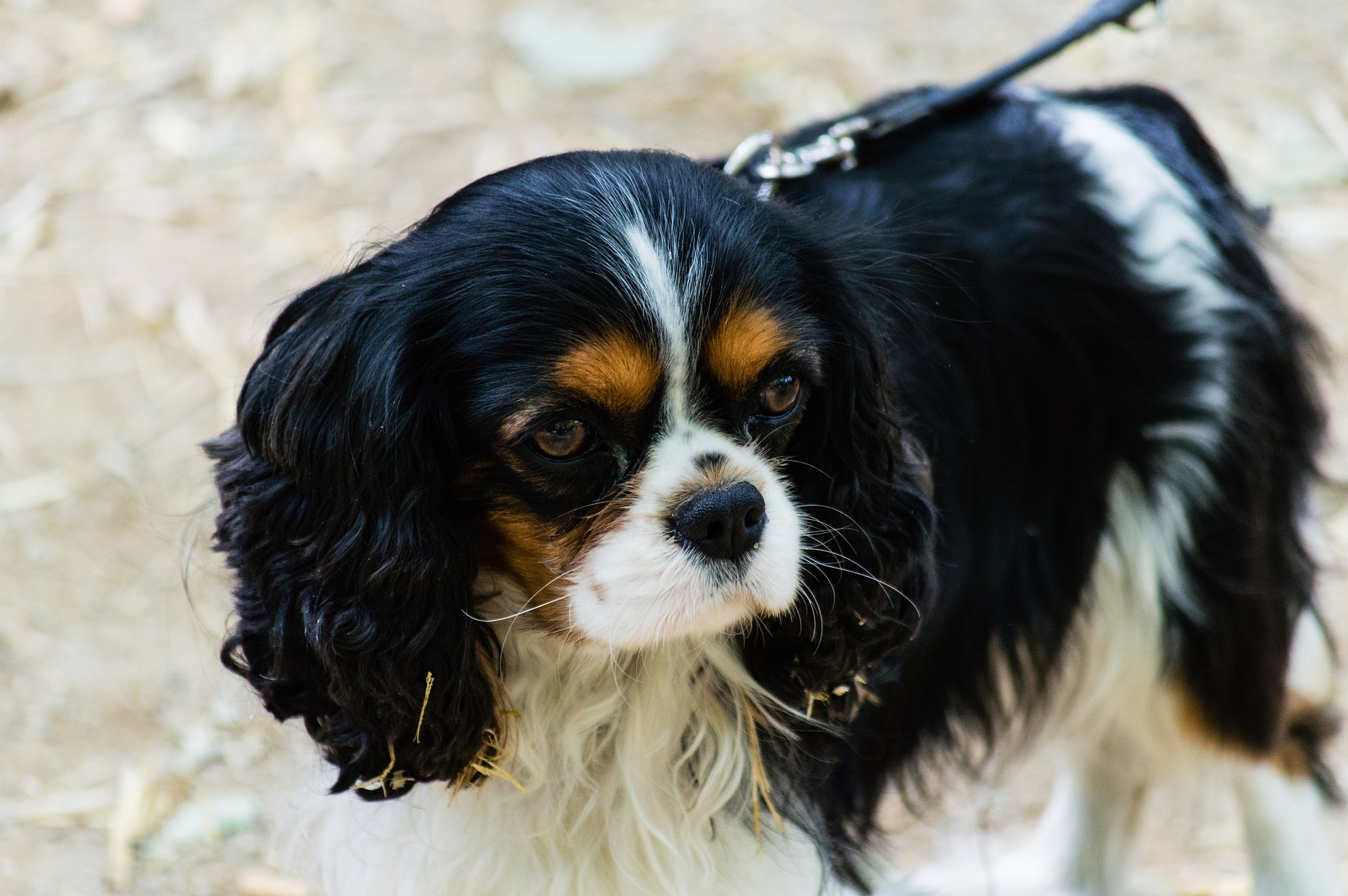 king charles spaniel-dog-loss-grief-healing
