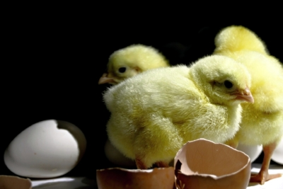chicks-chickens-mother-nurture