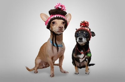 chihuahuas-dogs-love-animals-energy