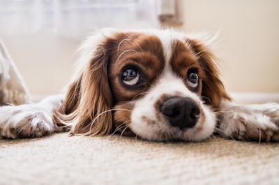 Spaniel-dogs-healing-energy-animal-communication
